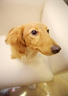 Close_up of Miniature Dachshund, high angle view