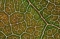 Maple Leaf, close_up