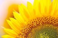 Sunflower, close_up