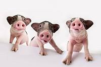 Three piglets standing