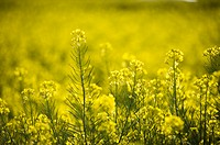 Yellows flowers in Luoping, Yunnan Province