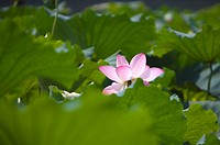 Close_up of water lily in the green leaves