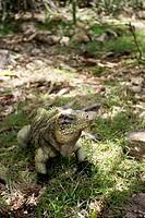 Iguana crawling on ground, Camagüey, Cuba