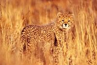 Gepardenjunges im Gras, Cheetah kitten in grass, Acinonyx jubatus, Kgalagadi Transfrontier Park, Südafrika