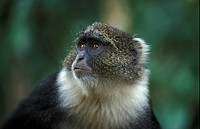 Sykes monkey, Cercopithecus albogularis, Mount Kenya National Park, Kenya