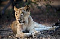young Lion, panthera leo, Selous Game Reserve, Tanzania