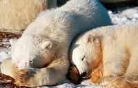Eisbaerin mit einem Jungen, polar bearess and a young, Ursus maritimus