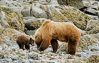 Braunbaerin mit ihrem Jungen, brown bearess and its cub, Ursus arctos