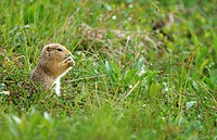 Arktischer Ziesel, Artic Ground Squirrel, Spermophilus parryii