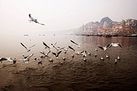 Ducks in the river, Das Ashvamedha Ghat, Ganges River, Varanasi, Uttar Pradesh, India