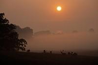 Silhouette of Fallow deer Dama dama standing in field at sunrise, Sjaelland, Denmark