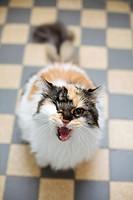 Cat snarling at camera