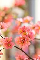 Flower of Peach