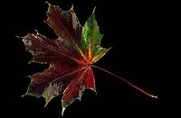 A shiny maple leaf