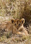 A lion cub lying in grass