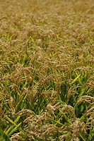 Rice growing in a field, Arles, France