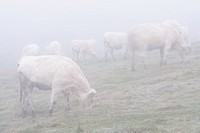 White cows in the fog Sweden