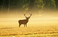 Stag standing on grass