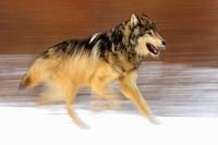 Grey Wolf Canis lupus- captive in winter habitat