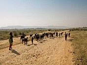 Rajasthan,India,Girl and her herd of goats walking along a rural dirt road