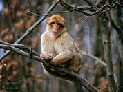 Barbary Macaque _ sitting on branch / Macaca sylvana