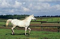 Asil Arabian horse on meadow