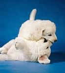 Kuvasz dog _ two puppies
