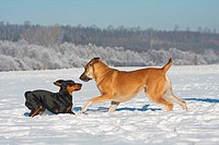half breed dog and German Pinscher dog _ playing in the snow
