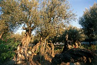 Photograph of an ancient olive tree at Gethsamene