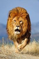 Barbary lion Panthera leo, extinct in wild- captive