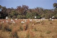 Flight of Birds, Pantanal, Mato Grosso do Sul, Brazil