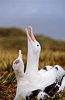 Wandering Albatross Diomendea exulans in courtship behaviour, Island of South Georgia