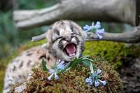 Cougar (Puma concolor), 3 days old cub. Montana, USA