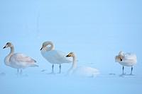 Norway, Lapland, Lofoten Islands, Whooper Swan Cygnus cygnus