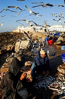 Morocco, Essaouira, back from fishing on harbour