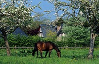 France, Calvados, Pays d´ Auge, Pont l´ Eveque, horse in a meadow at Reux