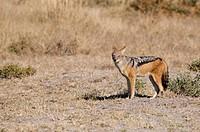 Botswana, Central Kalahari Game Reserve, or Canis Jackal mesomelas
