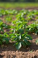Close up of potato crop