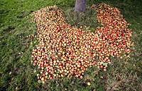 France, Calvados, Pays d´Auge, Saint Aubin, manual harvesting apples for cider