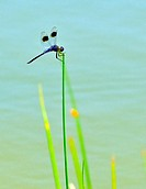Four-spotted Dragonfly Perched