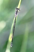 Ornate Bluetail Damselfly, Coenagrion ornatum