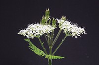 Cicely, sweet cicely Myrrhis odorata herb and medicinal plant against cough and stomach weakness