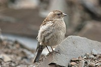 Plain Mountain_finch Leucosticte nemoricola adult, with nest material in beak, Sichuan, China