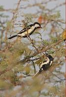 White_naped Tit Parus nuchalis adult pair, foraging in thorn bush, Gujarat, India, november
