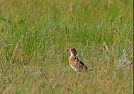 White_winged Lark Melanocorypha leucoptera adult male, standing on ground in steppe, Aqmola Province, Kazakhstan, june