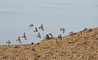 Snow Bunting Plectrophenax nivalis flock, winter plumage, in flight over shingle, Norfolk, England