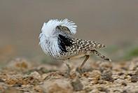 Houbara Bustard Chlamydotis undulata fuertaventurae male displaying, Fuerteventura, Canary Islands, march