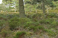 Western Capercaillie Tetrao urogallus adult female, nesting in habitat, Abernethy Caledonian Pine Forest, Cairngorms N P , Highlands, Scotland