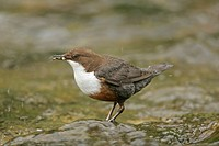 White_throated Dipper Cinclus cinclus adult, feeding in stream, insects in beak, Peak District, Derbyshire, England