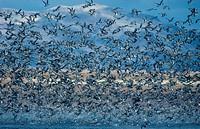 Pintail Anas acyta Large flock in flight